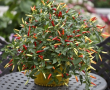 Basket of Fire (Chilli Pepper)