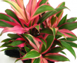 Cordyline Pink Edge