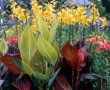 Canna Tropicanna and Tropicanna Gold