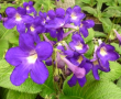 Streptocarpus Purple/Yellow