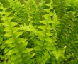 Nephrolepsis fern