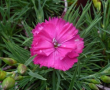 Dianthus Far Out