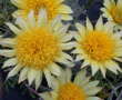 Gazania Lemon Twist