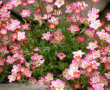 Saxifrage Purple Robe