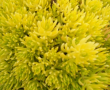 Sedum Gold Mound