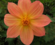 Tree Dahlia First Increment