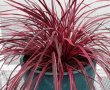 Cordyline Raspberry Fountain